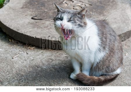 funny white cat yawns on the road