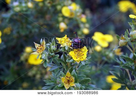 A pair of Japanese beetles (Popillia japonica) engages in coitus on the flower of a shrubby cinquefoil (Dasiphora fruticosa, also known as Potentilla fruticosa) blooming in a yard in Joliet, Illinois during July.