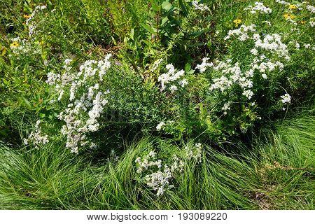 Narrowleaf mountainmint (Pycnanthemum tenuifolium), also called slender mountainmint, common horsemint or Virginia thyme, blooms in Joliet, Illinois during July.