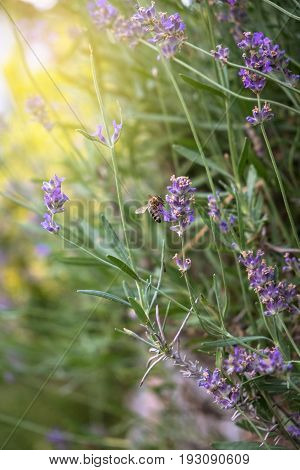 Lavender purple flowers with bees gathering the nectar and summer sun glare