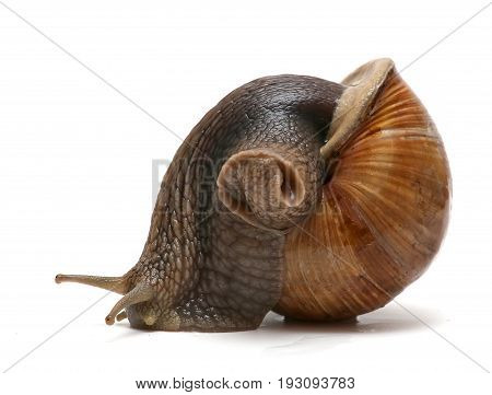 Helix pomatia common names the Burgundy snail Roman snail edible snail or escargot isolated on the white background