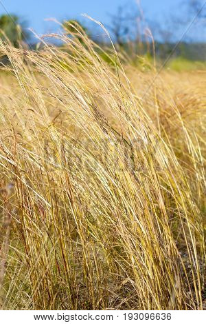 Grass dead and dry beautiful in field at Mukdahan Nation Park Thailand.