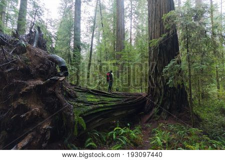 Young man standing small on the top of huge tree log in deep redwood forest - concept of traveling, small, inspiration, freedom, adventure