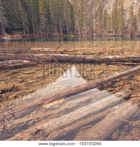 Landscape of Grassi Lake with deadwood in the water and forest in the background Kananaskis Alberta.