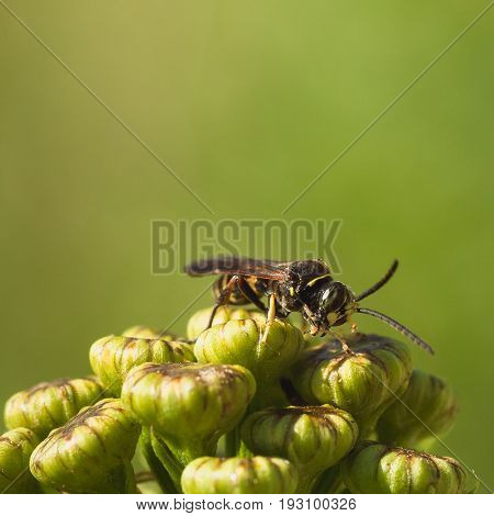 Macro of a wasp with legs of prey dangling from mouth.