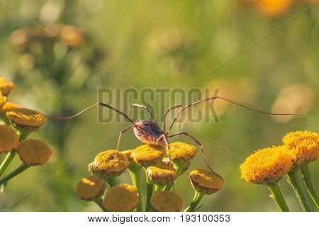 Macro of a daddy longlegs spider resting on tansy flowers.