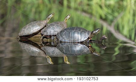 Trio of Painted Turtles Sunning on a Log in a Pond