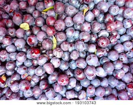 Bilberry -  the background texture nature .