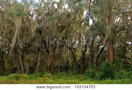 Trees draped with spanish moss in Florida