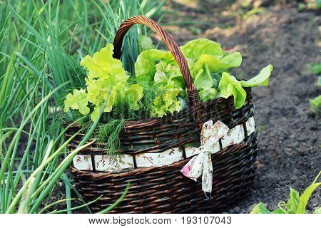 lettuce in a basket placed near a vegetable patch .