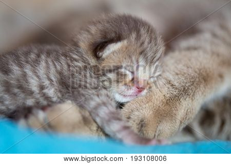animal cat mother and baby kitten sleeping on her paw together