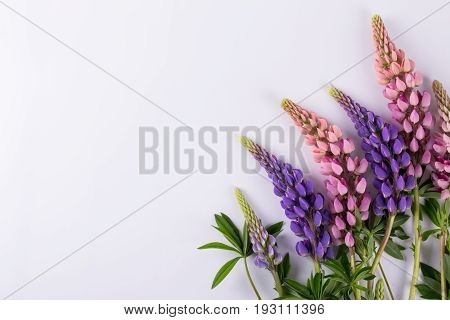 Lilac and rose Lupine flower on a white background. Summer flower pattern