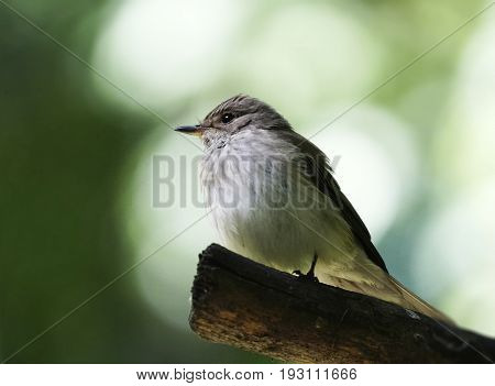 A wagtail of a wagtail on a branch on a blurry white-green bokeh background. Close-up. Nature.
