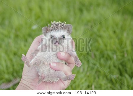 Hedgehog on hand , African pygmy hedgehog