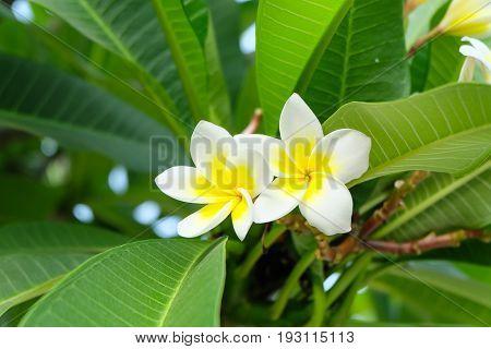 white frangipani vector flowers (frangipani, plumeria, flower)