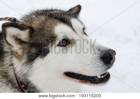 Dog sideview closeup portrait. Alaskan malamute breed. Unfocused snow background.