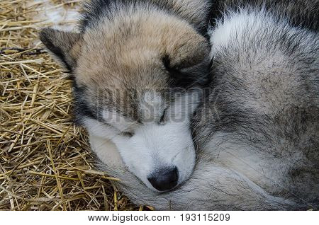 Closeup of alaskan malamute dog sleeping outdoor on straw bedding