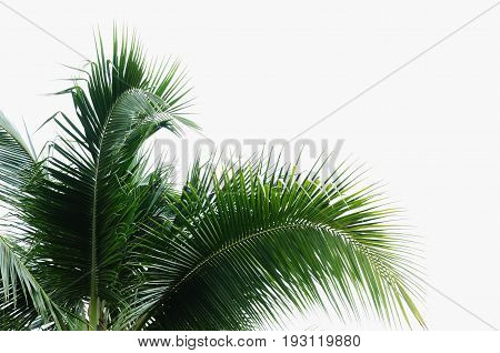coconut green leave isolate on white background
