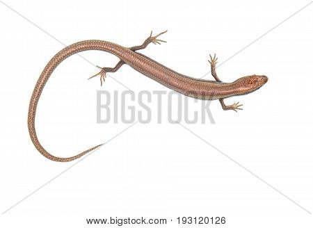 lizard on a white background . A photo