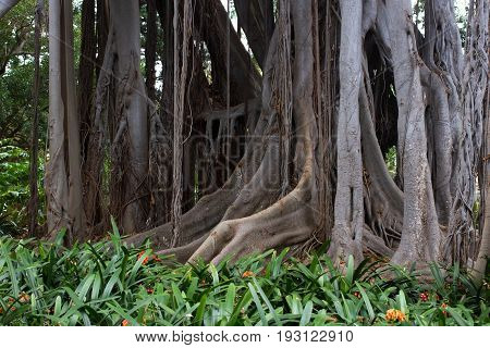 Ficus macrophylla big tree. Aerial roots, with column support. Bromeliaceae, Bromelia undergrowth