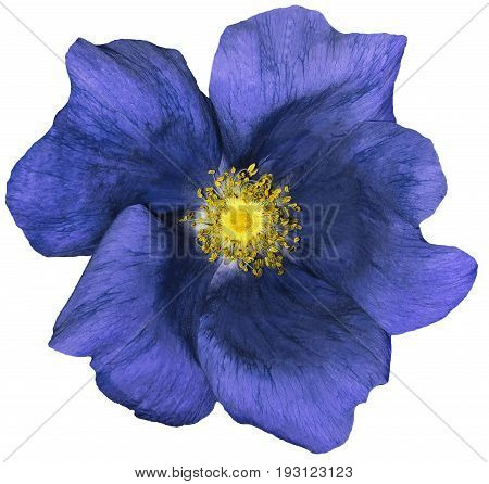 Flower dark blue on a white isolated background with clipping path. Nature. Closeup no shadows. Garden flower.
