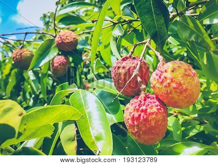 Fresh lychee hanging on the tree in Thailand