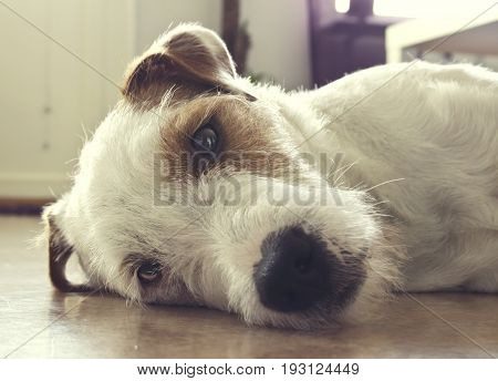 Very cute white and brown colored Parson Russell Terrier relaxing.