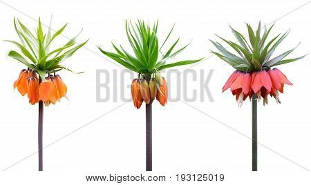 Fritillaria imperialis or crown imperial imperial fritillary or Kaiser's crown over white background