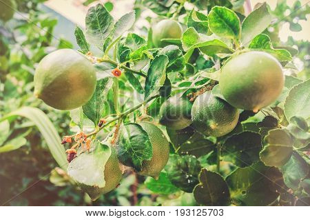 Lime Fruit On Lemon Tree