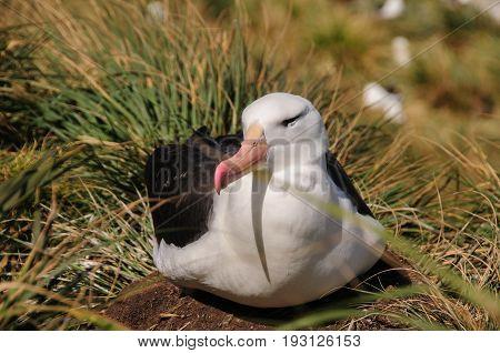 Black-Browed Albatross on their breeding colony on Westpoint Island, the Falklands.