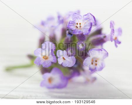 Lavender flower, close-up. Lavandula officinalis.