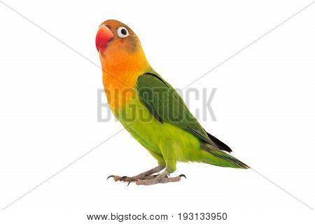 fischeri lovebird parrot on a white background