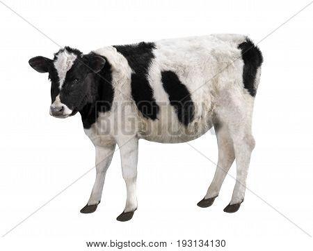 Spotty Bull