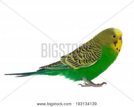 green budgie isolated on a white background, studio shot