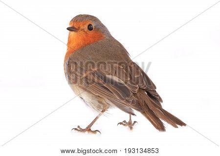 European Robin (erithacus Rubecula)