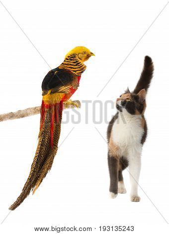 Pheasant And Cat