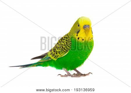 green budgie isolated on a white background