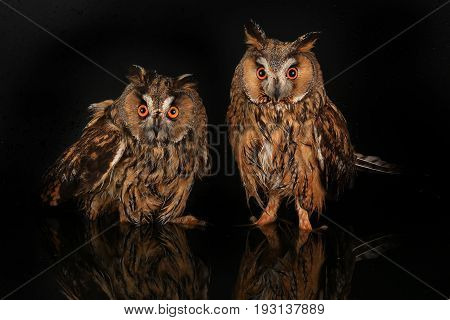 two owl  in water on a black background