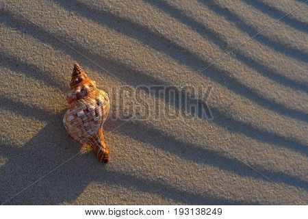 cockleshell on sand at setting the sun at the sea