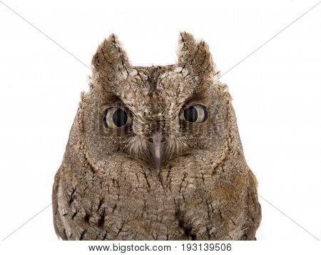 Portrait European Scops Owl
