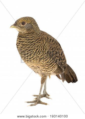 Pheasant Female Gold