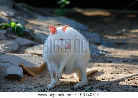 Grazing White Albino Kangaroo Red Necked Wallaby