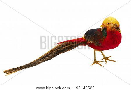 pheasant gold male isolated on a white background