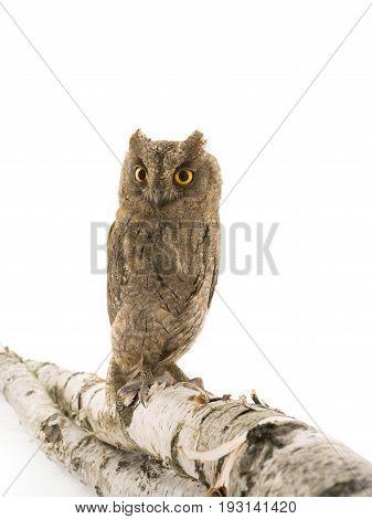 European scops owl owl isolated on a white background, studio shot