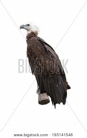 griffon vulture isolated on a white background