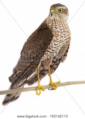 falcon isolated on a white background, studio shot