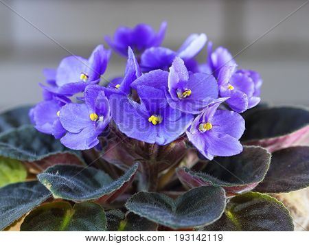 Violet Saintpaulias flowers commonly known as African violets Parma violets close up isolated colored bokeh background.
