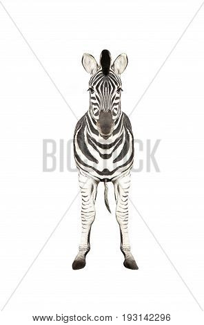 Zebra fullface isolated on a white background