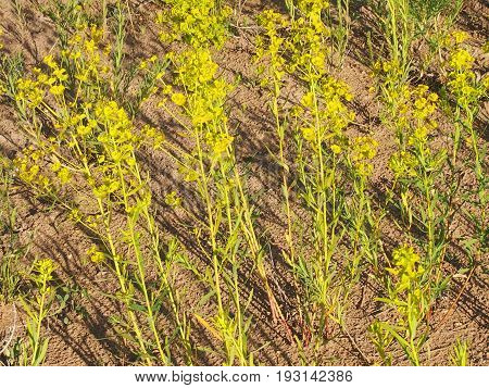 Officinal herbs - the Euphorbia steppe - a poisonous plant