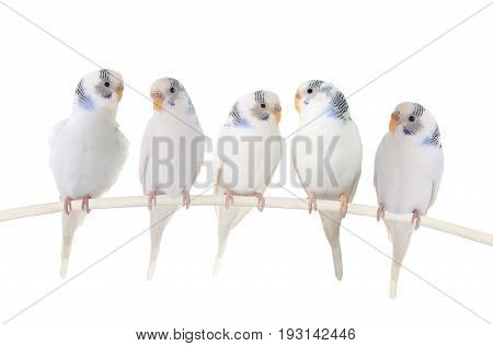 Budgie white isolated on a white background, studio shot